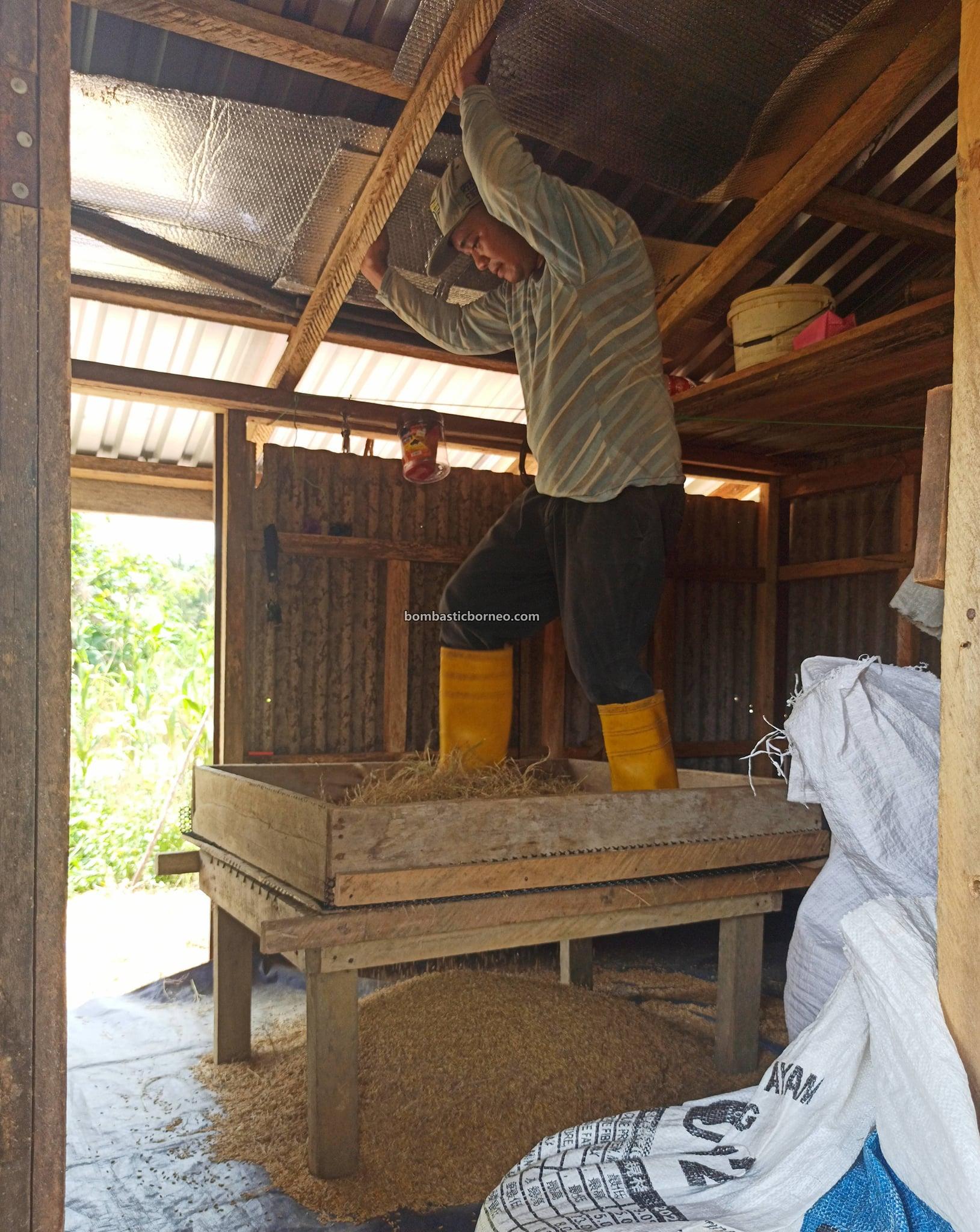 Kampung Bunan Gega, Village, Paddy Farming, Paddy harvesting, Sawah Padi, native, authentic, culture, Malaysia, Tourism, tourist attraction, Borneo, 穿越婆罗洲游踪, 马来西亚砂拉越, 西连比达友传统稻田