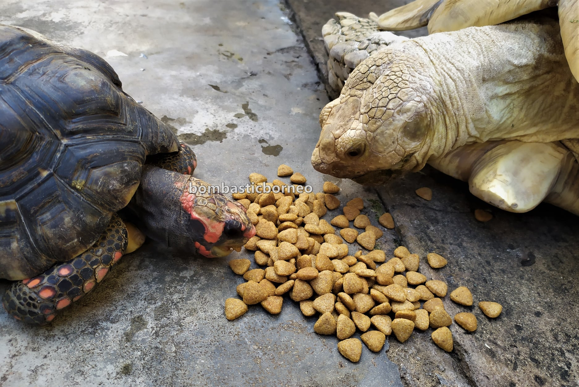 African spurred tortoise, Centrochelys sulcata, Sulcata tortoise, Kura-kura, Haiwan Peliharaan Eksotik, Exotic Animal, exotic pets, hobby, exploration, Kho Animal Enterprise, Kuching, Sarawak, Malaysia, Tourism, travel guide,