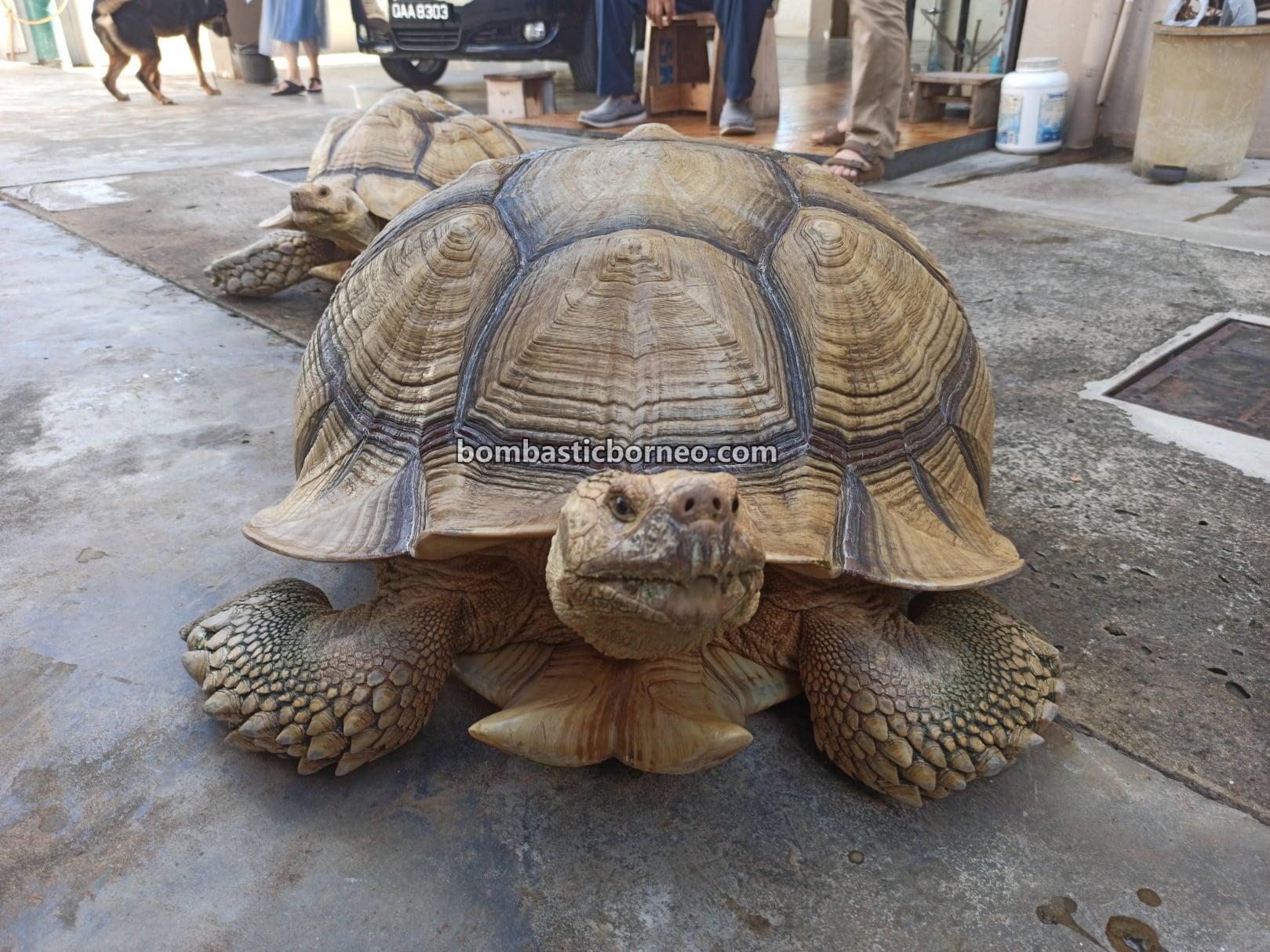 African spurred tortoise, Centrochelys sulcata, Sulcata tortoise, Kura-kura, Haiwan Peliharaan Eksotik, Exotic Animal, pets shop, hobby, Kho Animal Enterprise, Kuching, Sarawak, Malaysia, Tourism, tourist attraction, travel guide