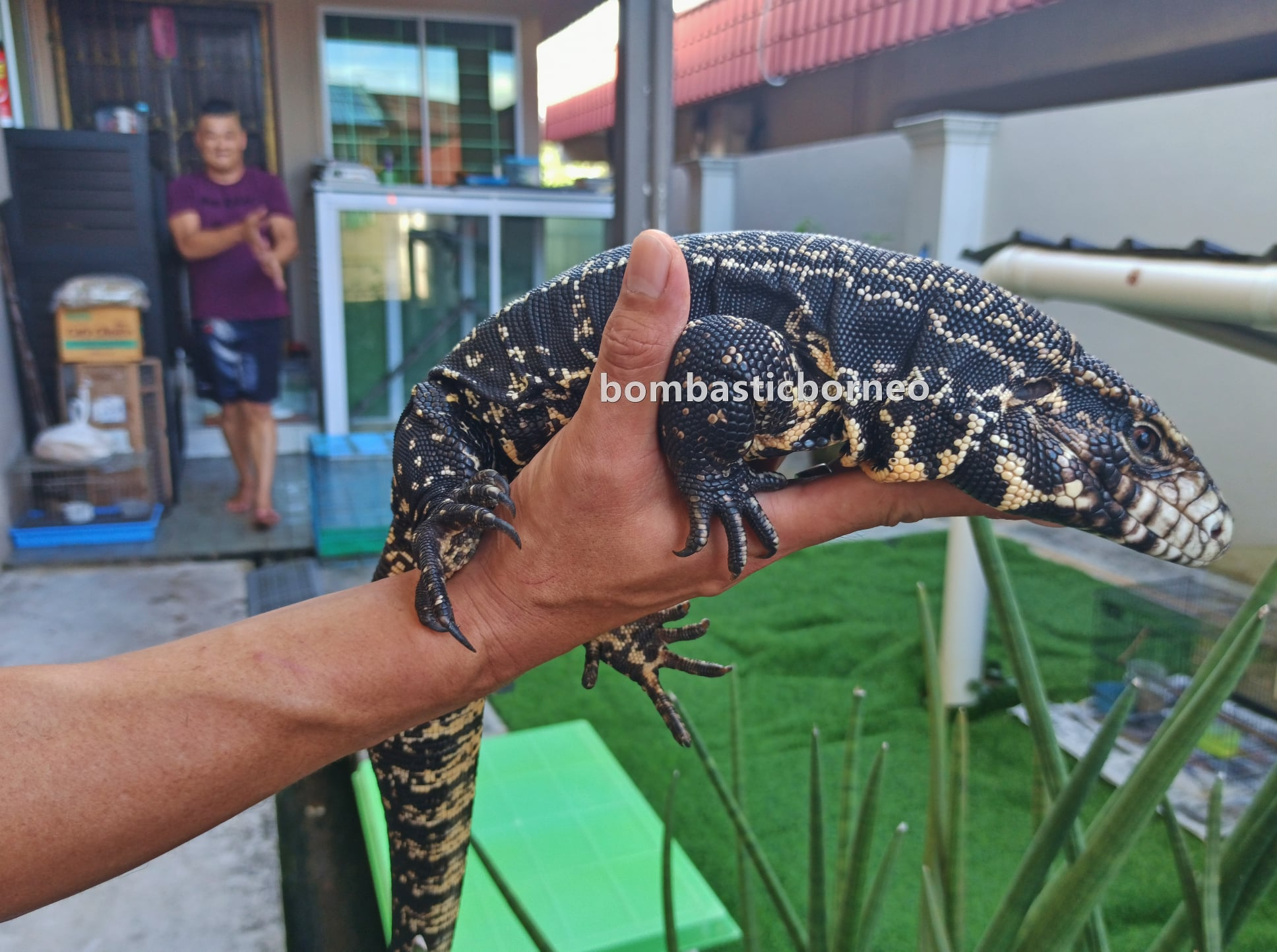 biawak, Haiwan Peliharaan Eksotik, Exotic Animal, hobby, exploration, Kho Animal Enterprise, Sarawak, Malaysia, Tourism, tourist attraction, travel guide, 砂拉越异国宠物店, 古晋蜥蜴嗜好,