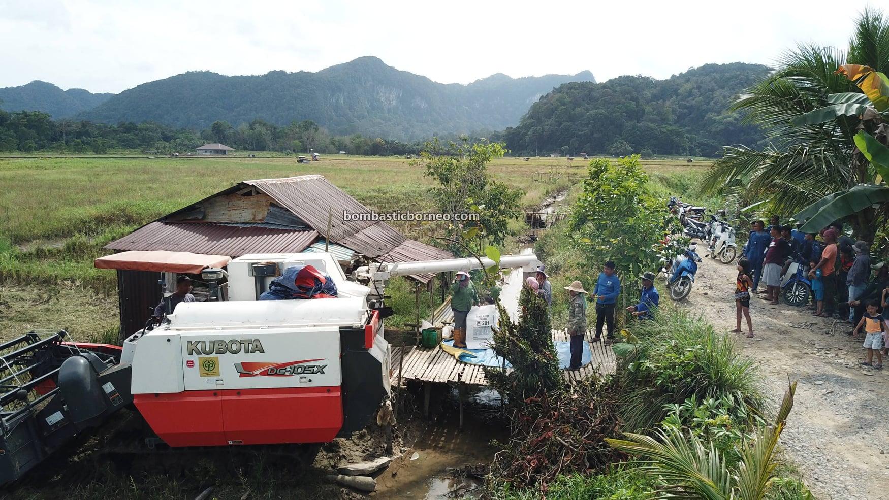 Kampung Chupak, Paddy Fields, Paddy Farming, Paddy Harvesting, Sawah Padi, Penuaian Padi, Tourism, tourist attraction, travel guide, travel local, Borneo, 马来西亚砂拉越, 西连稻米之乡, 比达友稻谷收割,