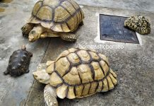 African spurred tortoise, Centrochelys sulcata, Sulcata tortoise, Kura-kura, Haiwan Peliharaan Eksotik, Exotic Animal, hobby, exploration, Kho Animal Enterprise, Malaysia, Tourist attraction, 马来西亚砂拉越, 古晋宠物店嗜好, 苏卡达陆龟象龟