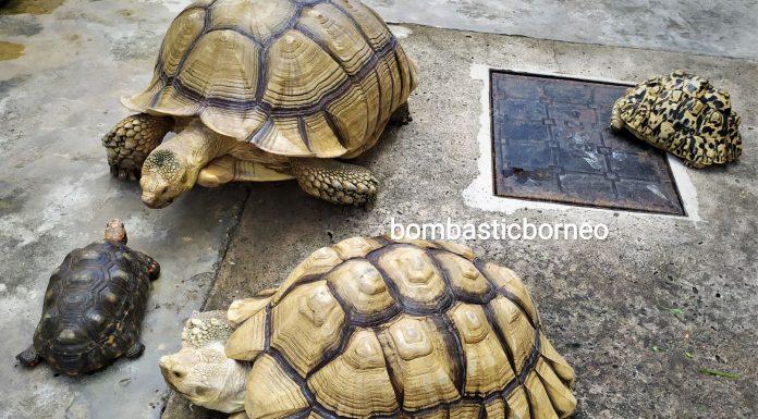 African spurred tortoise, Centrochelys sulcata, Sulcata tortoise, Kura-kura, Haiwan Peliharaan Eksotik, Exotic Animal, hobby, exploration, Kho Animal Enterprise, Malaysia, Tourist attraction, 马来西亚砂拉越, 古晋宠物店嗜好, 苏卡达陆龟象龟