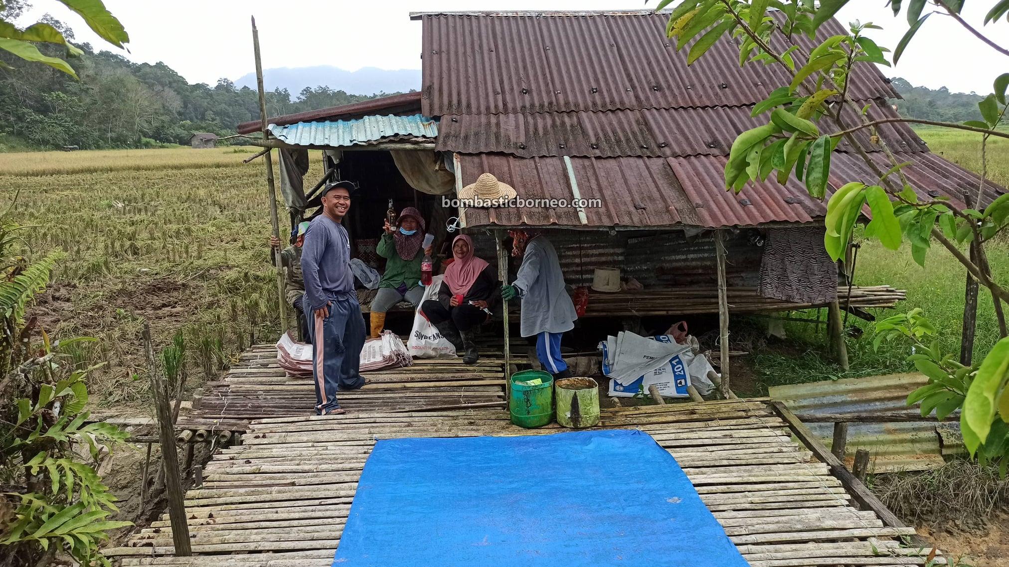 Kampung, Paddy Field, Paddy Farming, Sawah Padi, Penuaian Padi, dayak bidayuh, Destination, Malaysia, Tourism, tourist attraction, Borneo, 穿越婆罗洲游踪, 马来西亚砂拉越, 比达友稻谷收割