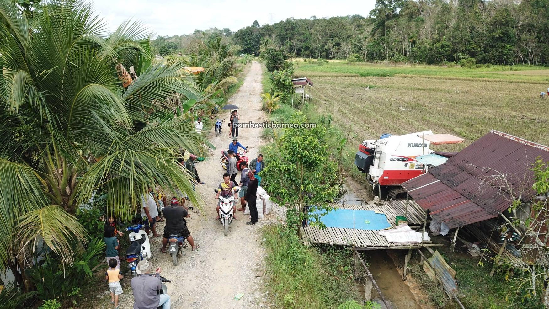 native village, Kubota Combine Harvester, Paddy Fields, Paddy Farming, Paddy Harvesting, Sawah Padi, dayak bidayuh, objek wisata, Tourism, travel guide, travel locally, Trans Borneo, 马来西亚砂拉越, 西连稻米之乡, 比达友稻谷收割,