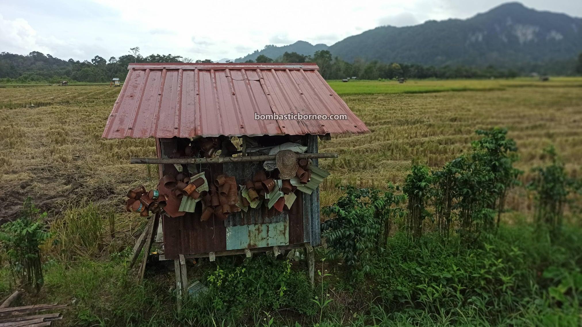 village, Paddy Field, Paddy Farming, Paddy Harvesting, dayak bidayuh, Destination, exploration, Tourism, tourist attraction, travel guide, travel local, Trans Borneo, 探索婆罗洲稻田, 马来西亚砂拉越, 西连稻米之乡