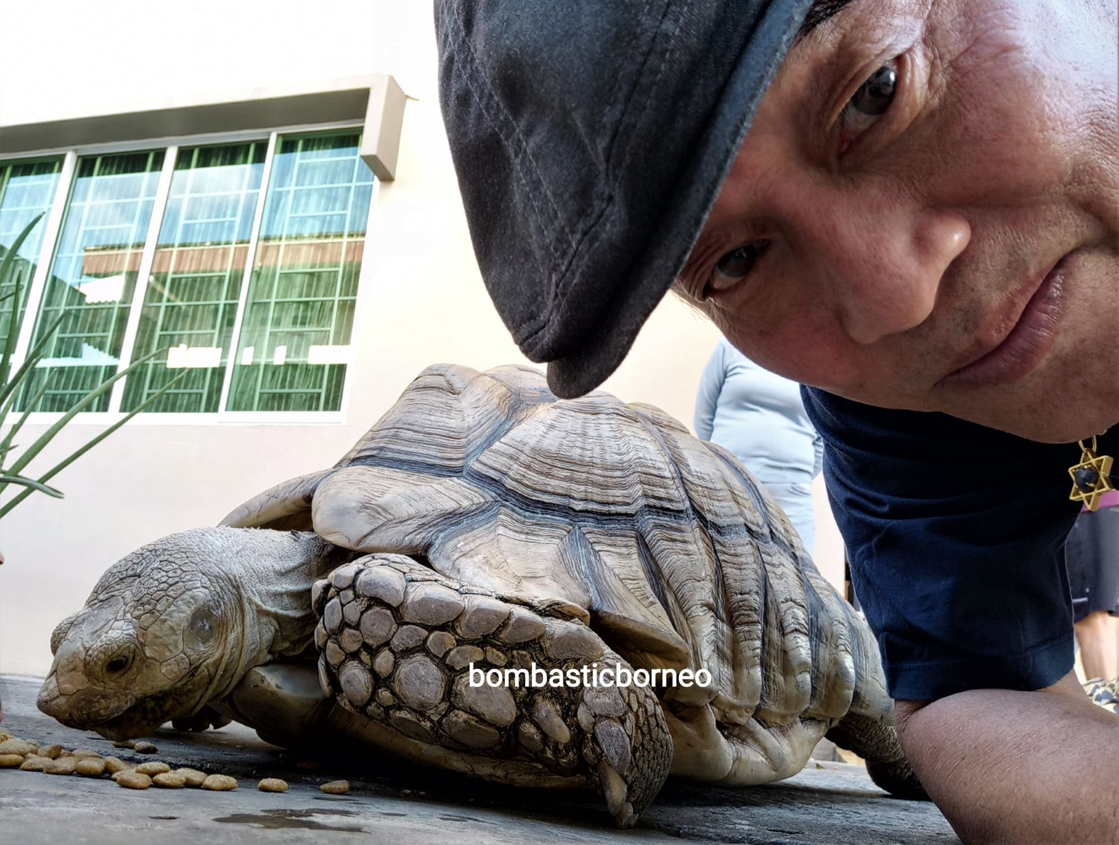African spurred tortoise, Centrochelys sulcata, Sulcata tortoise, Exotic Animal, pets shop, hobby, Kho Animal Enterprise, Malaysia, Tourism, tourist attraction, travel guide, 马来西亚砂拉越, 异国宠物店嗜好, 古晋非洲盾臂龟,