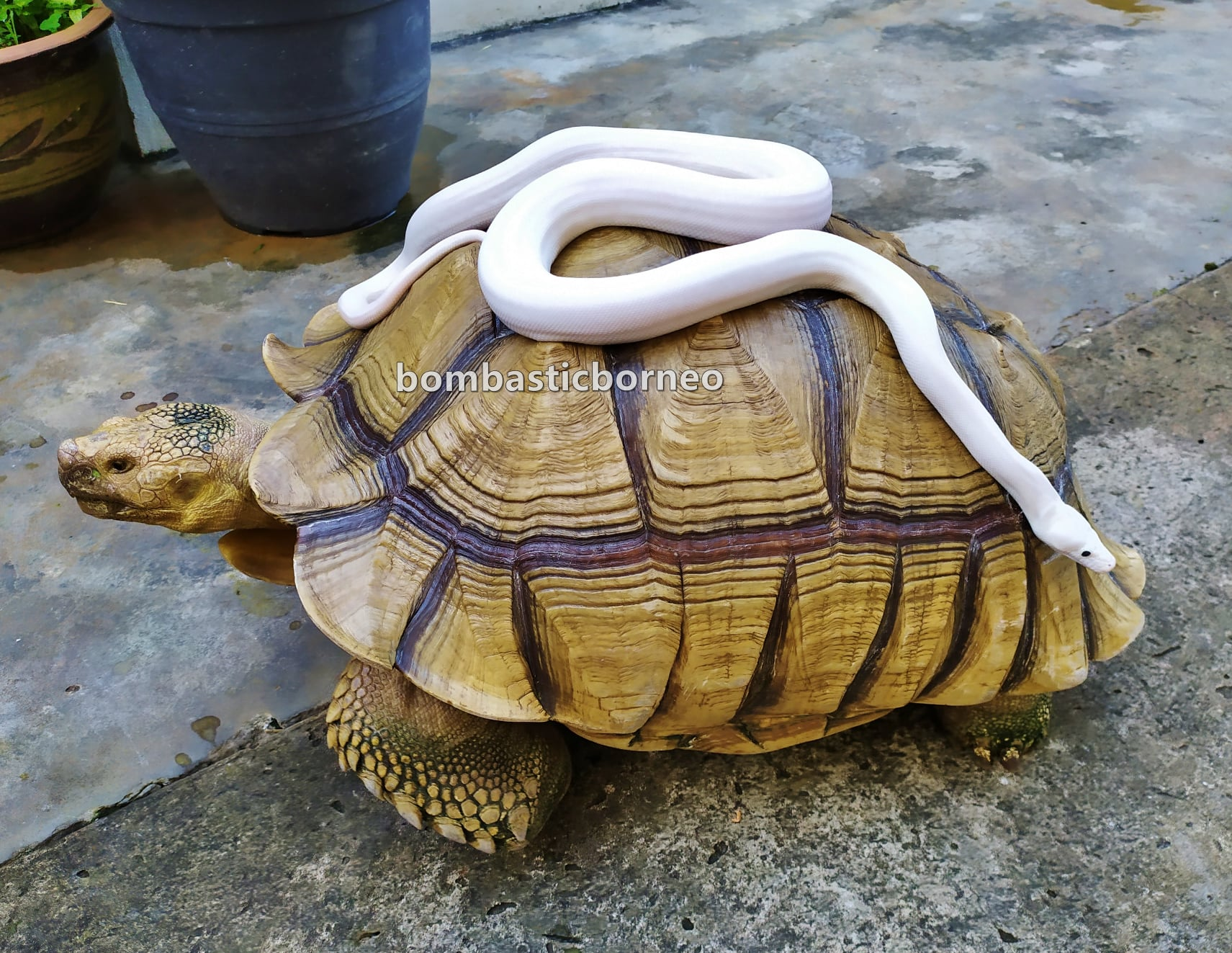 python, African spurred tortoise, Centrochelys sulcata, Kura-kura, Haiwan Peliharaan Eksotik, pets shop, hobby, Kho Animal Enterprise, Malaysia, Tourism, tourist attraction, travel guide, 婆罗洲马来西亚游踪, 砂拉越古晋嗜好, 苏卡达陆龟,象龟宠物