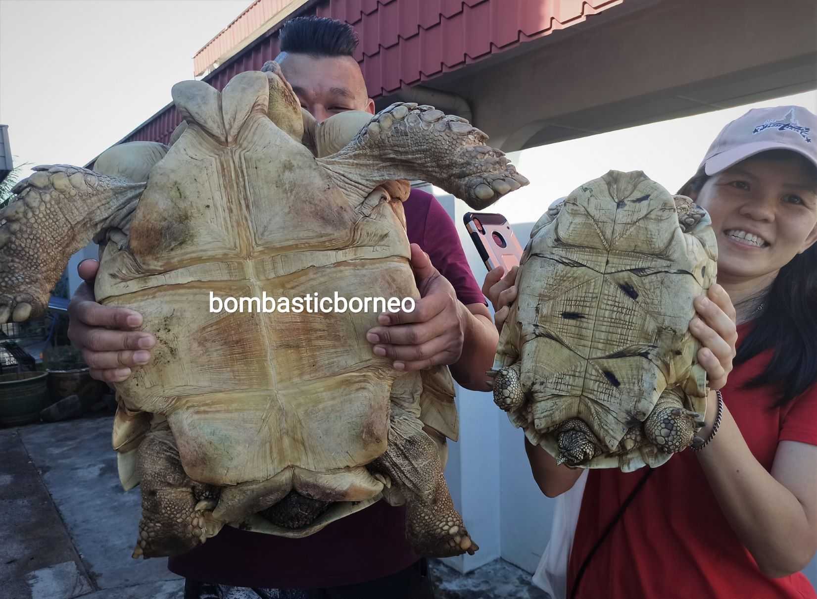 African spurred tortoise, Centrochelys sulcata, Sulcata Kura-kura, Haiwan Peliharaan Eksotik, pets shop, hobby, exploration, Kho Animal Enterprise, Malaysia, tourist attraction, travel guide, 婆罗洲砂拉越游踪, 马来西亚古晋嗜好, 非洲盾臂龟宠物
