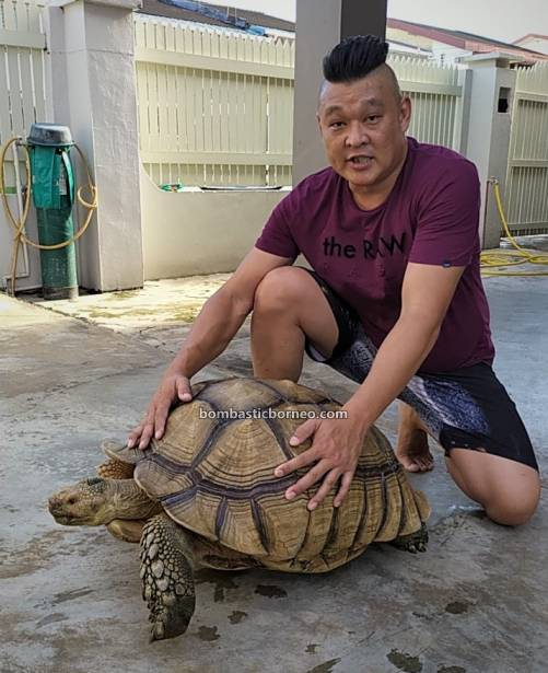 African spurred tortoise, Centrochelys sulcata, Kura-kura, Haiwan Peliharaan Eksotik, Exotic Animal, hobby, Kho Animal Enterprise, Malaysia, Tourism, tourist attraction, travel guide, 婆罗洲马来西亚, 古晋宠物店嗜好, 砂拉越苏卡达陆龟