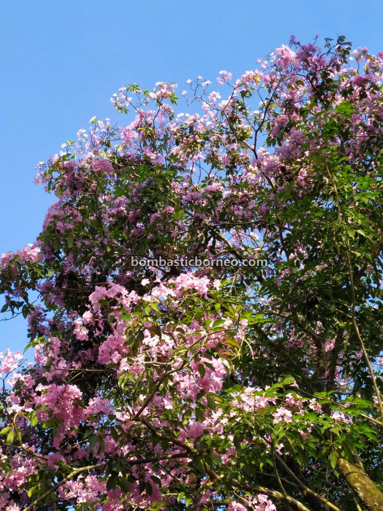 Tabebuia pallida, Tabebuia pentaphylla, Tabebuia rosea, Tecoma, Sakura flowers, Cherry Blossoms, Trumpet tree, blooming, flora, flowers, spring, Kuching South City Council, nature, Sarawak, Malaysia,
