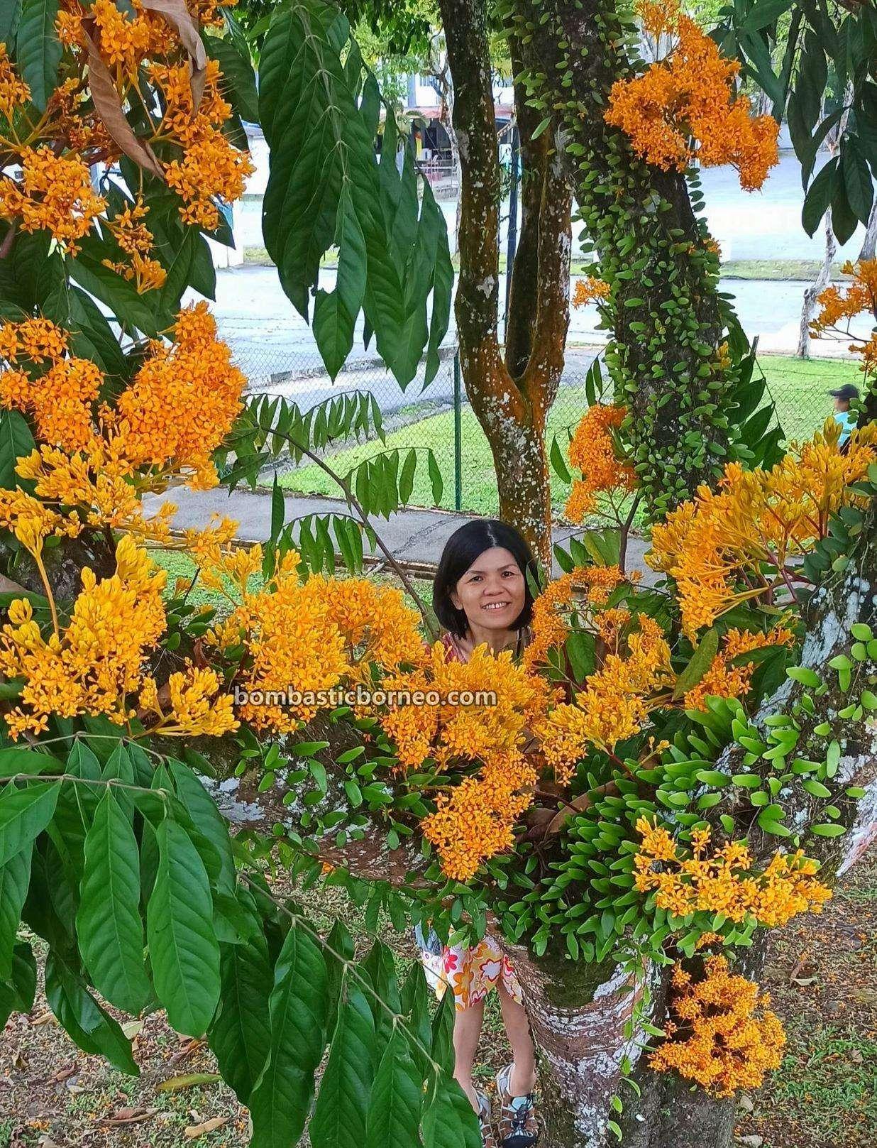 blooming, spring, Majlis Bandaraya Kuching Selatan, nature, outdoor, jogging, tempat senaman, Sarawak, Malaysia, Tourism, tourist attraction, travel local, 探索婆罗洲游踪, 马来西亚砂拉越, 古晋南市跑步公园,