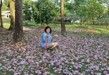 Tabebuia rosea, Tecoma, Cherry Blossoms, flora, spring, Kuching South City Council, nature, garden, Park, Borneo, objek wisata, travel guide, 探索婆罗洲游踪, 马来西亚砂拉越, 古晋南市樱花