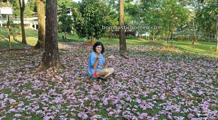 Tabebuia rosea, Tecoma, Cherry Blossoms, flora, spring, Kuching South City Council, nature, garden, Park, Borneo, objek wisata, travel guide, 探索婆罗洲游踪, 马来西亚砂拉越, 古晋南市樱花